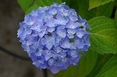 Hortênsia, Flor, Natureza, Jardim, Azul