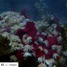@natgeo ・・・ Text by @enricsala : Last week we dived at a magical place on the Cape Horn archipelago. Because there had been virtually no underwater surveys on this remote area, we picked our diving spots haphazardly. Last week we couldn't have been luckier. We came upon a giant aggregation of the fake king crab Paralomis granulosa. They were in the ground, on top of each other, climbing on the kelp, parachuting from the canopy... like a scene taken off a sci-fi movie. Video by…