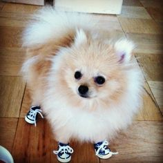 Pomeranian Dog Wearing Sneakers - 'I'm ready for my Walk now Mum'
