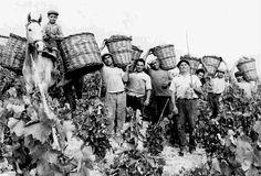Vendemmia Nelle tradizioni contadine le stagionali attività produttive sono sempre  state  legate a momenti di festa che celebravano la momentanea grande disponibilità di risorse ma anche la fine di periodi particolarmente faticosi.