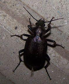 Calosoma argentinense