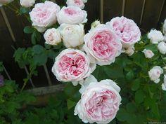 Cinderella Fairy Tale (Kordes, 2003, Shrub) rose