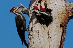 Plieated Woodpecker feeding young Florida John Bishop