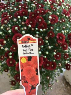 Aideen Red Fire is a gorgeous decorative garden mum and has a radiant red flower.  Aideen Red Fire is an easy to grow perennial that prefers to be planted in an area that receives full sun, but can get by with a half day of direct sunshine.