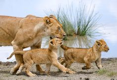 Amazing photo of lioness and cubs.  #lionpride