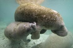 Manatees You might not know if a portly manatee is pregnant simply by looking at the animal, but this gentle giant carries its young for nearly 13 months. Lounging around in the water all day helps to relieve some of the extra weight, but a manatee mother is still owed plenty of respect for her patience.