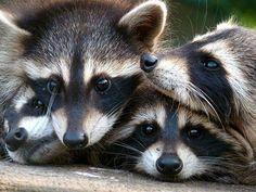 The Daily Cute: International Raccoon Appreciation Day!