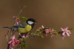 Great tit (Parus major) / Explore asbimages.co.uk's photos on Flickr. asbimages.co.uk has uploaded 11395 photos to Flickr.