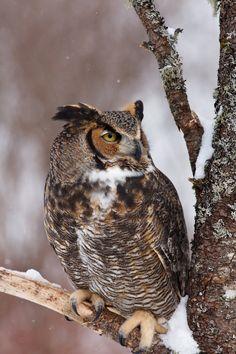 Great Horned Owl by tekk1e.deviantart.com on @deviantART
