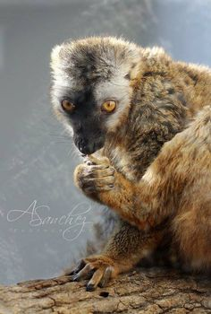 Thank you to Anabel Sanchez for sharing this beautiful photo of one of the Birmingham  #Zoo's Red-fronted lemurs!