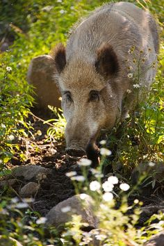 Wild boars are such beautiful and powerful animals.