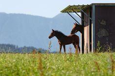 Hoe vaak komt het wel niet voor dat paarden hun schuilstal helemaal niet gebruiken en lekker bij de bosrand gaan staan? Of dat je paard in de zomer juist veel meer in zijn stal staat? Er zijn genoeg redenen om…