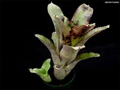 Billbergia Violetta