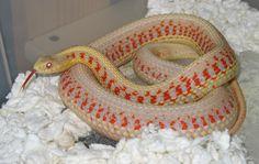 Albino Red Sided Garter Snake