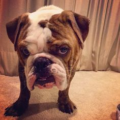 Bulldogs who are so happy they can't even...