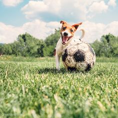 https://flic.kr/p/HxccfV | Jack Russell Terrier play with big old ball | Jack Russell Terrier play with big old ball Constant link for buying on Shutterstock : goo.gl/7qoN7O #JackRussell #dog #funny