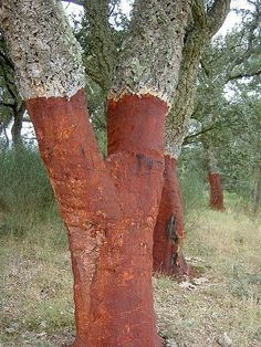 Cork for wine comes from Oak Cork trees (Quercus Suber). The outer bark is stripped and peeled off the tree by hand.  This can be done every 9 - 12 years for the trees 150 year life span. This bark from this cork tree has just been harvested.