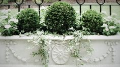 classical flower box with miniature boxwoods and English ivy spilling down the front