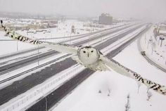 Someone give this Canadian traffic camera a job at National Geographic!  Traffic Camera Accidentally Snaps Beautiful Photo of a Snowy Owl..