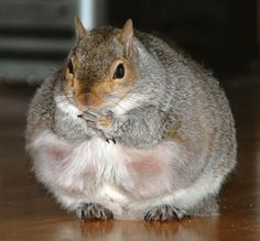 They say you can tell how bad a winter will be by how fat the squirrels get... better batten down the hatches!