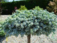 Thuja Smaragd, Herbs, Plants, Herb, Plant, Planets, Medicinal Plants