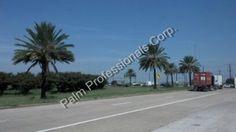 Phoenix Dactylifera Medjool Date Palm Tree Sales And Installation