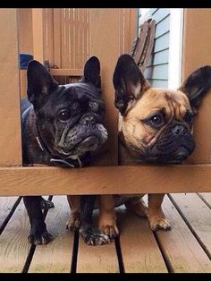 French Bulldog Security
