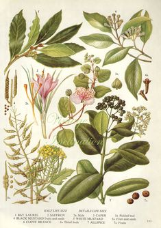 Bay Leaves botanical, a vintage herb bookplate, UK, 1960s