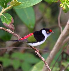 The Pin-tailed Manakin (Ilicura militaris) is a species of bird in the monotypic genus[citation needed] Ilicura of the family Pipridae. It is endemic to Brazil. Small Birds, Little Birds, Colorful Birds, Pretty Birds, Love Birds, Beautiful Birds, Different Birds, Kinds Of Birds, Bird Wings