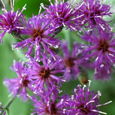 New York Ironweed - I think I see a theme coming through.  May need to add this one to my landscape too.