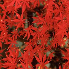 érable du Japon Sumi Nagashi avec feuilles rouges de forme intéressante