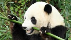 Sitting Cute Panda With Bamboo On White Royalty Free Stock . Techos De Madera Y Bamb En La Casa Panda. Home and furniture ideas is here Washington Zoo, Dc Zoo, Panda Food, Save The Pandas, Bamboo Landscape, Zany Zoo, Wild Lion, Bamboo Architecture, San Diego Zoo