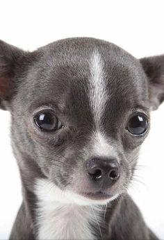 Cute Chihuahua, Chihuahua Puppies, Bulldog Puppies, Dogs And Puppies, Cute Funny Animals, Cute Baby Animals, Funny Dogs, Cute Little Puppies, Cute Dogs