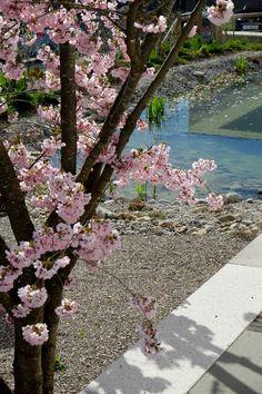 Prunus 'Accolade' am Schwimmteich. Prunus, Garden, Cherries, Garten, Gardens, Peach, Cherry, Tuin, Yard