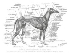Greyhound Muscle Plate | Flickr - Photo Sharing!