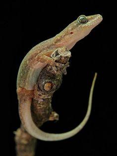 ouse Gecko (Hemidactylus sp.) por itchydogimages en Flickr