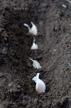 garlic planting tutorial! www.theartofdoing...