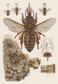 Old Lithograph Prints | 1957 European Honey Bee Antique Print, Vintage Offset Lithograph ...