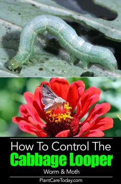 Cabbage Looper caterpillar worms can devour your garden We share [15 Tips] on How To identify, naturally kill and get rid of cabbage loopers in the garden. Garden Insects, Garden Pests, Organic Vegetables, Growing Vegetables, Growing Plants, Gardening For Beginners, Gardening Tips, Kitchen Gardening, Gardening Quotes