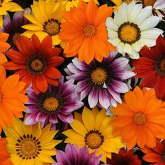 Gazania Seeds New Day Mix Gazania Linearis 15 thru 200 Seeds Treasure Flower Seeds