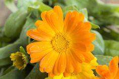 Měsíček lékařský na první pohled upoutá svým příjemným zabarvením, díky kterému rozveselí každou zahradu. Jako žena ale oceníte i jeho skvělé léčivé vlastnosti, které se osvědčily při léčbě mnoha ženských obtíží. 💛 Flowers, Plants, Flora, Plant, Royal Icing Flowers, Flower, Florals, Bloemen, Planting
