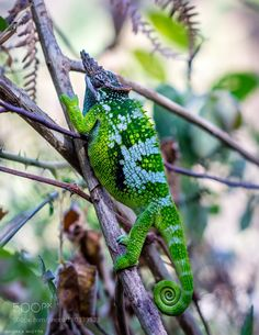 Chameleon by AndreaMiotto #animals #animal #pet #pets #animales #animallovers #photooftheday #amazing #picoftheday