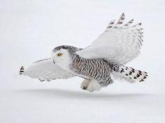 coruja-das-neves Repinado do site NovoCientista