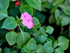 Maria-Sem-Vergonha - Aprenda A Plantar E Cuidar Do Jeito Certo - Minhas Plantas