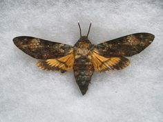 Deaths Head Hawk Moth Specimen by FalconEyeStudios