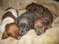 So many cute Doxie puppies! Cute Puppies And Kittens, Baby Dachshund, Really Cute Puppies, Weenie Dogs, Dachshund Puppies, I Love Dogs, Cute Dogs, Dogs And Puppies, Standard Dachshund