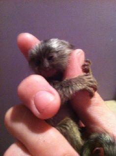 105 Best Finger Monkey images   Tiny monkey, Cutest ...