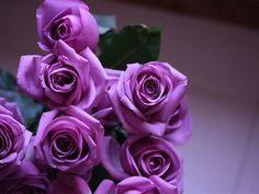 Purple Roses | ... Purple Roses - purple roses, roses, photography, nature, purple
