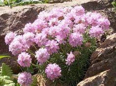 TRÁVNIČKA TRSNATÁ - Armeria juniperifolia Plants, Plant, Planting, Planets