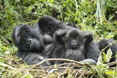 Kick back and chill: Taken by American Alan Chung in Volcanoes National Park, Rwanda by American Alan Chung. It shows part of a 'Hirwa' family group of 16 mountain gorillas led by a silver back feeding their young on bamboo shoots